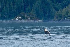 The Spy-hop flop (Melanie Leeson) Tags: scenicwildlife canadianwildlife orcas mammals northamericanwildlife britishcolumbiawildlife blingsister melanieleesonwildlifephotography whales