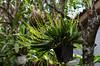Pleurothallis sp (Mabelín Santos) Tags: orchid garden orchidaceae orquídeaspanameñas panama florapanameña floresdepanamá floratropical pleurothallisquadrifolia orchidee gardening орхидея orquídia orkidé ορχιδέα magairlín орхідея orkide storczyk orhideja tegeirian кветка blóm цветок blomst gėlė bláth tropisch tropski trópaiceach tropinis тропический 热带 열대의 トロピカル 蘭 난초 आर्किड กล้วยไม้ anggrek