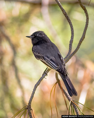 Black Phoebe in the Shade (arainoffphoto) Tags: trees phoebe birds travel forest black fullerton park tourism arboretum california