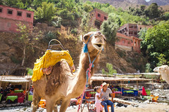 Oh, hey there. (joscelyn_p) Tags: camel camelride atlasmountains mountains morocco animal animals canon lightroom travel traveling traveler world outside