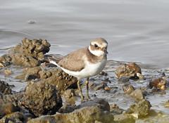 Borrelho-grande-de-coleira / Common ringed plover (Charadrius hiaticula) (Marina CRibeiro) Tags: