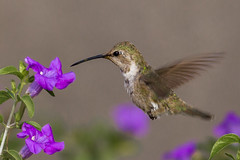 Ruby-throated hummingbird #3 (Archilochus colubris) (famasonjr) Tags: canonefs55250mmf456is canoneos7d nature wildlife hummingbird rubythroated hovering purple green bokeh