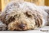 La ternura en su máxima expresión (CJVaquero) Tags: nikon d750 perro perrodeaguaespañol pdae ternura felicidad mifamilia
