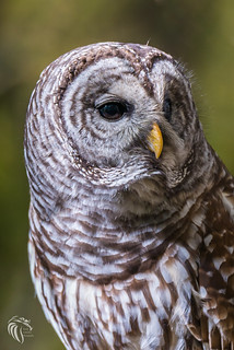 Barred Owls of New Jersey | 2017 -12