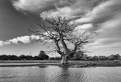Ghost Tree 2 - Matford Marsh (pm69photography.uk) Tags: exeter southwest devon marshbarton floodplain trees tree 16mmf14 xt2 clouds bw blackandwhite niksilverfx matfordmarsh