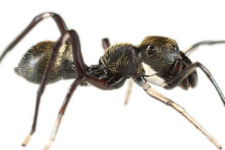 Another good ant mimic