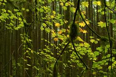 October (Kristian Francke) Tags: fall leaves yellow red orange brown maple vine pentax