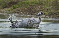 Crane (Wild) - Twin shower heads! (Ann and Chris) Tags: avian amazing bird crane close wet feathers big nature outdoors wildlife wild waterbird bath