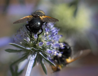 Bees on Sea Holly