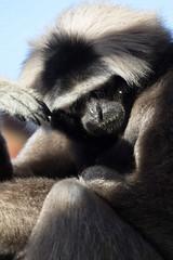 Photo of Pilated Gibbon