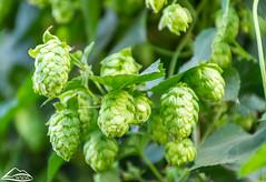 Hops (Washington State Department of Agriculture) Tags: summer sunnyside wsdagov washingtonstatedepartmentofagriculture yakima field hops washington wsda