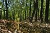 drf00312P (m-klueber.de) Tags: drf00312p flora rhönflora blume mitteleuropa mitteleuropäisch blütenfarbe trifida orchidaceae korallenwurz dreispaltige europäische corrallorhiza blattlos habitus gruppe grün gelb cephalanthero fagion orchideen buchenwald buche rotbuche fagus sylvatica wald hochwald kuppenrhön kalk orchidee corallorrhiza corallorhiza pflanze drf00312 kalkbuchenwald 20050505 mk2005rhoen1 rhön deutschland lebensraum biotop habitat 2005 mkbildkatalog europäisch pflanzenwelt cortrif bildauswahl portfolio