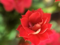 (meeeeeeeeeel) Tags: kalanchoe macro detail flor flower vermelho rouge rot rojo rosso red