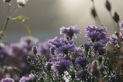 Astern am Morgen (Vasquezz) Tags: aster astern asters blume blüte blossom flower morgen morning morgentau dew herbst autumn bokeh twitter coth coth5 sunrays5 fantasticnature infinitexposure