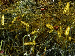 backlit weeds (Eric.Ray) Tags: nature panasonic lumix digital outdoors weeds yellow green