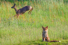 Fox & Roe Deer (Terry Angus) Tags: roedeer fox redfox doe deerandfox