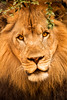Lion Stare 3-0 F LR 9-16-17 J564 (sunspotimages) Tags: lion malelion malelions nature lions wildlife zoosofnorthamerica zoos zoo philadelphia philadelphiapennyslvania philadelphiapa phila
