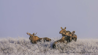 Three Moose in the Frost-1140239
