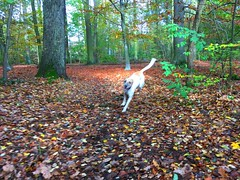 Autumn I Forest runner (Transaxle (alias Toprope)) Tags: autumn herbst foliage leaf leafs leaves wood forest dog hund chien cane perro color colour colors colours colorful colourful berlin toprope iphone automne fall atmosphere soul beauty spotting spotter photo typography elements street streetcar urban 秋天 bunt 紅葉 otoño φθινόπω colori couleurs kleuren herbstfoto leaves 紅葉 colourofleaves 紅葉 herbstlaub fallfoliage lautomne colourperfection perfection colorsarts arts