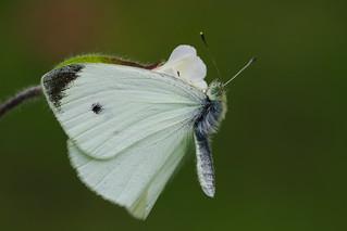 Pieris rapae (2) In unusual resting position