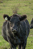 Happy Beefer (dana.ny) Tags: cow angus black cattle bovine autumn farming agriculture abstract