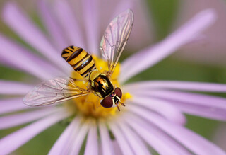 Hoverfly and self-portrait