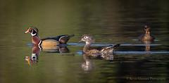 Wood Duck couple... (Kevin James54) Tags: greenfieldlake nikond850 piedbilledgrebe podilymbuspodiceps tamron150600mm wilmington woodduck animals avian bird grebe kevingianniniphotocom