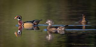 Wood Duck couple...