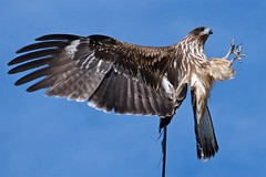 Claws (somazeon) Tags: panasonic lumix m43 bird blue sky kite 鳥 nature gm5