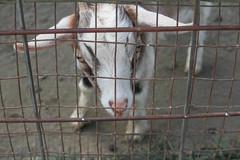 Goats (BowenGee) Tags: clarksfarmellicottcity clarks farm ellicott city howard county elioak goats goat bunnies bunnie bunny bunnys rabbit rabbits cows cow sheep pigs pig emu horses horse donkey enchanted forest animals hayrides baby