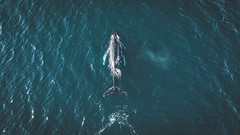 Once in life you have to see whales in person. Iceland is the perfect place for that. (Bokehm0n) Tags: landscape nature vsco explore flickr earth travel folk 500px autumn sea water minimal ocean animal photography outdoors whale wilderness iceland dji