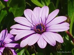 Flower (pamelamacchiavello) Tags: flower flor spring primavera color pétalo