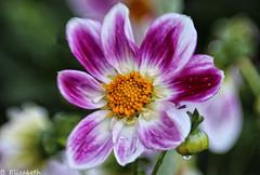 Lensbaby Sweet 50 (Barbara.Elizabeth) Tags: canon80d flower dahlia plantingfields li summer pink