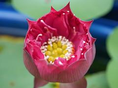 Nelumbo nucifera 'Russell' Wahgarden Thailand 5 (Klong15 Waterlily) Tags: russell nelumbo sacredlotus lotus lotusflower flower landscape wahgarden