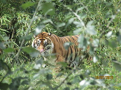 Tiger (staceygallagher2) Tags: trees hunting photography ireland animal wild forest jungle wildcat cat wildanimal zoo tiger