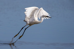 Little Egret (Simon Stobart) Tags: little egret egretta garzetta side shuffle take off water ngc npc