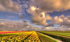 Acres of flowers. (Alex-de-Haas) Tags: oogvoornoordholland 1635mm d750 dutch europe hdr holland nederland nederlands nikkor nikon noordholland thenetherlands bloei bloem bloemen bloemenbijeenkomst bloemenveld clouds flower flowerfields flowerbed flowers landscape landschap lucht nature natuur plant skies sky tulip tulipfields tulipa tulips tulp tulpen tulpenvelden wolken