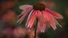 Echinacea (Explored October 9, 2017) (Anne Worner) Tags: anneworner colorefex em5 echinaceapurpurea lensbaby bend bloom blooming blossom blur bokeh centercone closeup closeupfilter1x2x4x composerpro coneflower echinacea floral flower herb manualfocus manualfocuslens olympus peatals perennial purpleconeflower red sweet35 wideformat