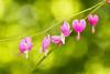 The Broken Heart (Synapped) Tags: bleeding heart flower pink green break broken