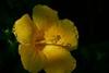 Yellow Hibiscus (Heaven`s Gate (John)) Tags: yellow hibiscus grenada caribbean closeup black johndalkin macro 10faves