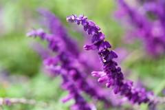アメジストセージ Salvia leucantha (takapata) Tags: sony sel90m28g ilce7m2 macro flower nature