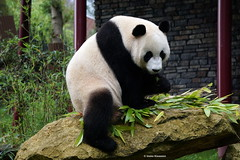 Bad, bad panda! Come on. We want photos. (Ineke Klaassen) Tags: ouwehands zoo dieren dierenpark panda xingya dierenfotografie animal animals animales animallife animali animaux animalplanet pandas rhenen sony sonyimages sonyilce6000 sonyalpha sonyalpha6000 sonyphotography mirrorless sonyflickraward mammal 1750views 2550fav 30fav 30faves