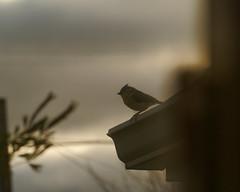 A Titmouse on the Porch Roof (joeldinda) Tags: home potter mulliken 2012 yard november nikon 1905 bird titmouse nikon1v1 1v1 v1 outside onthisdate 306366