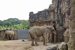 Zoo Duisburg (Magdeburg) Tags: zoo duisburg ruhrgebiet ruhrpott zooduisburg afrikanischer elefant african elephant afrikanischerelefant africanelephant