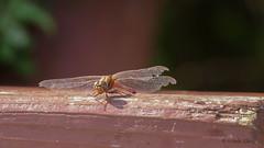 Heidelibelle (Oerliuschi) Tags: libelle dragonfly natur panasonicgh5 leicadg100400 lumix