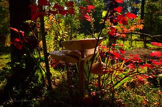 Macrolepiota procera in the garden