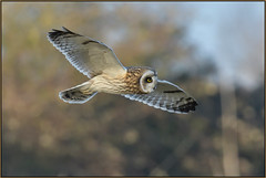 Short-eared Owl (image 2 of 2) (Full Moon Images) Tags: east anglia fens cambridgeshire bird birdofprey flight flying short eared owl shorteared seo