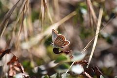 Licénido (esta_ahi) Tags: fontdelacanya mariposa papallona butterfly lepidoptera insectos fauna lycaenidae avinyonet penedès barcelona spain españa испания
