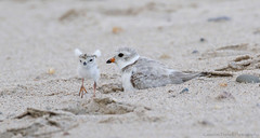 """Look at me, Ma!"" (Cameron Darnell) Tags: baby chick bird birds birding avian shorebird shorebirds dhore beach sand iso animals endangered endangeredspecies species biology seashore capecod cape cod national mass massachusetts cute jumping stretching fun sandy cameron tamron 2017 canon plover piping"