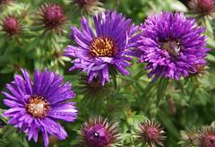 Aster, Raublatt- / New England Aster (Aster novae-angliae Purple Dome) (HEN-Magonza) Tags: herbst autumn botanischergartenmainz mainzbotanicalgardens rheinlandpfalz rhineland palatinate deutschland germany